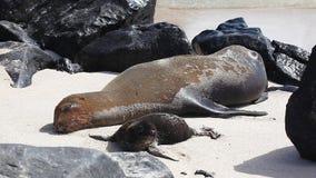 Galapagos Denny lew, Zalophus wollebaeki, karmiący potomstwa zbiory wideo