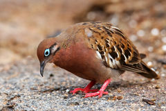 Galapagos Dove on Genovesa Island, Galapagos National Park, Ecua Royalty Free Stock Photos
