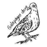 Galapagos dove - vector illustration sketch hand drawn   Royalty Free Stock Images