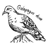 Galapagos dove - vector illustration sketch hand drawn   Royalty Free Stock Image