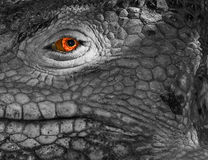 Galapagos Dragon. Galapagos land iguana, close up, desaturated except for eye real colour Royalty Free Stock Images