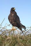 Galapagos eagle Royalty Free Stock Photography