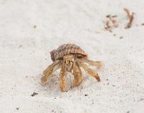 Galapagos-Einsiedlerkrebs, der auf sandigen Strand geht Lizenzfreie Stockfotos