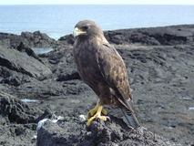 Galapagos-Falke Lizenzfreie Stockfotografie