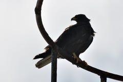 Galapagos-Falke im Schattenbild Lizenzfreies Stockfoto