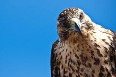Galapagos-Falke mit gekipptem Kopf Stockfotos