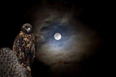 Galapagos-Falke nachts Lizenzfreie Stockbilder