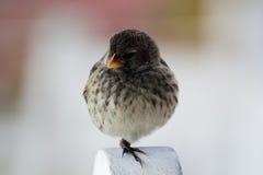 Galapagos Finch fotografia royalty free