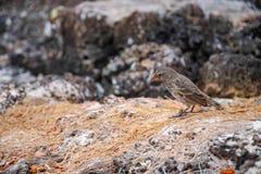 Galapagos Finch Geospiza fortis som mannen sätta sig på, vaggar i Santa Cruz, Galapagos öar arkivbild