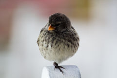 Galapagos Finch. Sitting on one leg Royalty Free Stock Photography