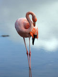 Galapagos-Flamingopflegen Lizenzfreies Stockfoto