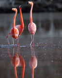 Galapagos Flamingos in mating dance Royalty Free Stock Photography