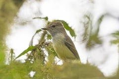Galapagos flugsnappare i ett träd Royaltyfria Foton
