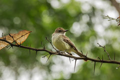 Galapagos flycatcher on a branch full of spines. Stock Photography