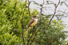 Galapagos flycatcher looking around on a branch. Stock Image