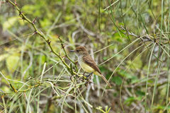 Galapagos flycatcher looking around on a branch with thorns. Stock Images