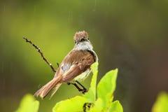 Galapagos flycatcher on Santiago Island, Galapagos National Park Stock Photos