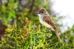 Galapagos flycatcher on Santiago Island, Galapagos National Park Stock Images