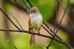 Galapagos flycatcher on Santiago Island, Galapagos National Park Royalty Free Stock Images