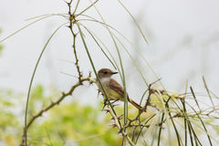 Galapagos flycatcher sitting on a branch with thorns. Royalty Free Stock Photography