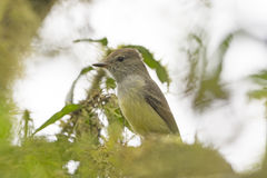 Galapagos Flycatcher in a Tree Royalty Free Stock Photos