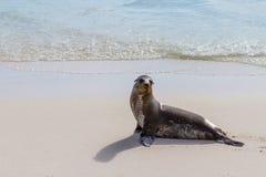 Galapagos foka Zdjęcia Royalty Free