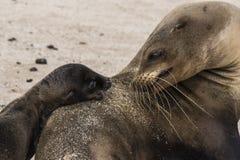Galapagos foki lisiątko Patrzeje matki obrazy stock