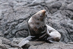Galapagos fur sea lion on Santiago Island, Galapagos National Pa Royalty Free Stock Image