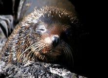 Galapagos fur sea lion. Fur seal in the Galapagos Islands stock photography