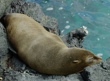 Galapagos Fur Seal. Sleeping on a rock with marine iguana in the background royalty free stock images