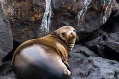 Galapagos Futerkowa foka Fotografia Stock