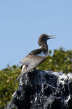 Galapagos Gannet Royalty Free Stock Photo