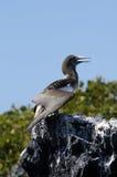 Galapagos Gannet Photo libre de droits