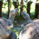 galapagos geochelone latin imienia nigra tortoise Obrazy Stock