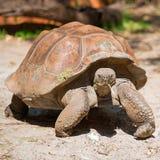galapagos geochelone latin imienia nigra tortoise Obraz Stock