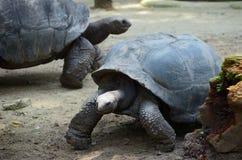 galapagos geochelone latin imienia nigra tortoise fotografia royalty free