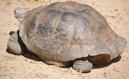 galapagos geochelone latin imienia nigra tortoise Zdjęcia Royalty Free