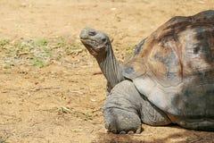galapagos geochelone latin imienia nigra tortoise Obrazy Royalty Free