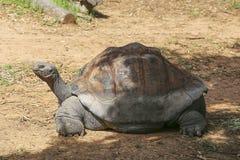 galapagos geochelone latin imienia nigra tortoise Obraz Royalty Free