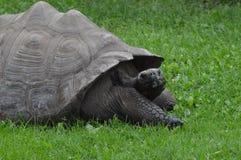 galapagos geochelone latin imienia nigra tortoise Zdjęcie Stock