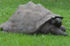 galapagos geochelone latin imienia nigra tortoise Fotografia Stock