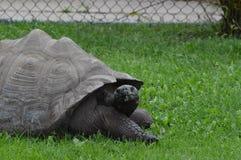 galapagos geochelone latin imienia nigra tortoise Zdjęcie Royalty Free