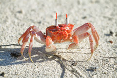 Galapagos ghost crabs Stock Photo