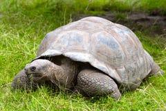 Galapagos giant tortoise. On grass royalty free stock image