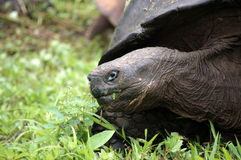 Galapagos Giant Tortoise. Photo was taken on Darwin Research Station, Galapagos Stock Images