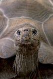 GALAPAGOS GIANT TORTOISE. Geochelone elephantopus Royalty Free Stock Image