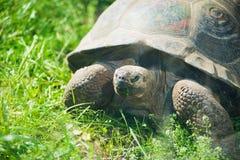 Galapagos giant tortoise. On grass royalty free stock photos