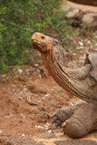 Galapagos giant tortoise. Showing long neck royalty free stock images