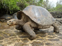 Galapagos Giant Tortoise. At Charles Darwin Research Station, Puerto Ayora, Santa Cruz Island royalty free stock images