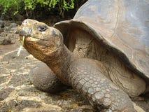 Galapagos Giant Tortoise Royalty Free Stock Image
